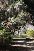 Walk under the Camellias