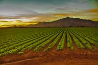 Sunrise Over Lettuce Field