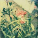 """Roses, Polaroid"" by mcturgeon"