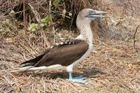 Adult Blue Footed Boobie