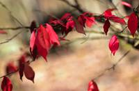 Euonymus - Red Leaves of Autumn
