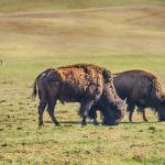 """Two Grazing Buffaloes on The Range"" by lightningman"