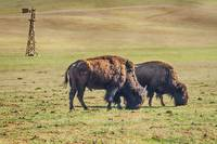 Two Grazing Buffaloes on The Range