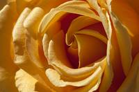 Yellow-Rose-Single-A010601_1146438