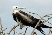 Frigate Bird on a Branch