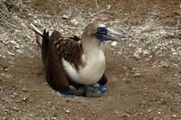 Blue Footed Boobie with Young Chick