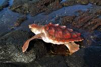 Baby Turtle Warming in The Vulcaninc Rocks