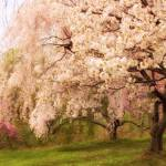 """Weeping Cherry"" by JessicaJenney"
