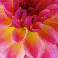 Dahlia  Flower Art Prints & Posters by Capturing Nature