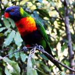 """Lorikeet"" by vineyard"