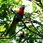 """Lorikeets"" by vineyard"