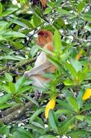 Proboscis Monkey Beautiful Profile