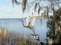 Great Egret at Lake Tarpon