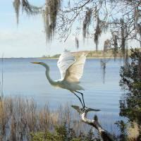 Great Egret at Lake Tarpon by I.M. Spadecaller