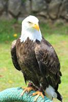 American Bald Eagle on a Perch