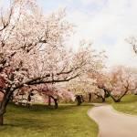 """Cherry Lane"" by JessicaJenney"