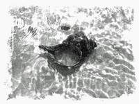 Seashell in BLack and White