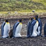 """""""King Penguins"""" by PaulCoco"""