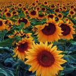 """""""Sunflower Sunset"""" by BrianKerls"""