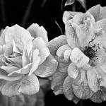 """Roses in Black and White"" by BrianKerls"