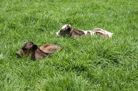 Two Calves in a Pasture