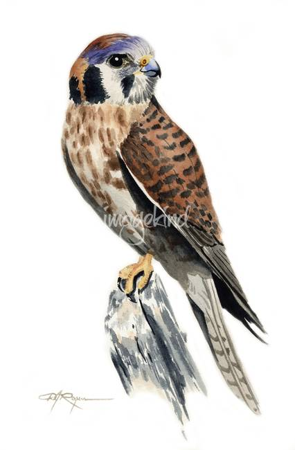 "Stunning ""American Kestrel"" Artwork For Sale on Fine Art ..."