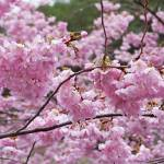 """Blossoms Pink Tree Blossom Spring Trees art prints"" by BasleeTroutman"