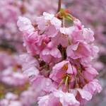 """Spring Tree Blossoms Pink Flowers Art Prints"" by BasleeTroutman"