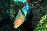 Blackbar hogfish - Bodianus speciosus