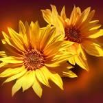 """Golden Sunflowers"" by valzart"