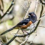 """Eastern Towhee"" by WildAboutNaturePhotography"