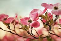Dogwood Dreams