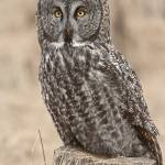 """Great Grey Owl (Strix nebulosa)"" by tagauthier"