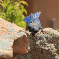 Scrub Jay sq. IMG_4152 Art Prints & Posters by Jacque Alameddine