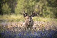 Deer in Lupine Field