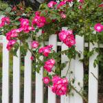 """Mendocino Morning Roses"" by vineyard"