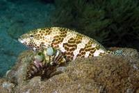 Honeycombed Grouper