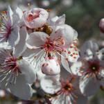 """Spring Blossoms"" by vpicks"
