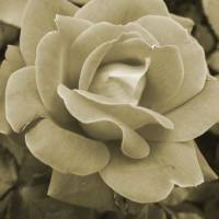 Faded Rose Art Prints & Posters by Betty Northcutt