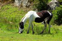 Black and White Horse Grazing