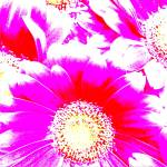 """""""2014-6 popart gerbera whiteredvio camproductions"""" by CAMProductions"""