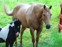 Big Horse and Miniature horse friends