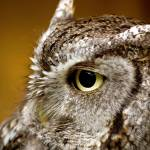 """Eastern Screech Owl"" by CampCrazyPhotography"