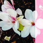 """""""Magnolia Dream I"""" by pattifriday"""