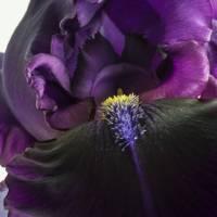 iris by julie scholz
