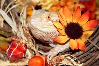 Festive Bearded Dragon