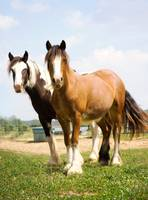 Pair of Gypsy Vanner Horses
