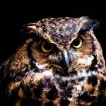 """Great Horned Owl"" by CampCrazyPhotography"