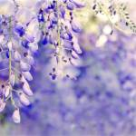 """Wisteria Watercolor"" by JessicaJenney"