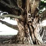 Trees - Gnarled